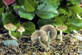psilocybe mushrooms fungi com