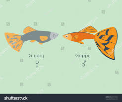exotic tropical guppy fish colors underwater stock vector