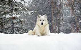 Wallpaper Dog Wallpaper Dog Wolf Forest Snow Lying Hd Picture Image