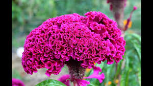 cockscomb flower cockscomb flowers celosia how to save seeds