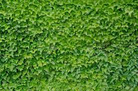 climbing ivy plant hedera helix background stock photo picture