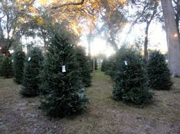 places to buy trees around largo largo fl patch