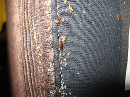 Bed Bugs Disease Bedbugs An Especially Disgusting Epidemic And How To Avoid