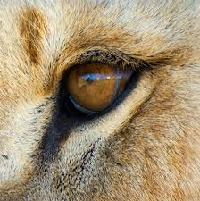 lion eye chiara gm galleries digital photography review