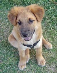 belgian shepherd labrador retriever mix brutus the shepherd mix puppies daily puppy