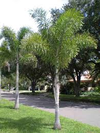 Garden Tree Types - palm tree types australia pictures reference