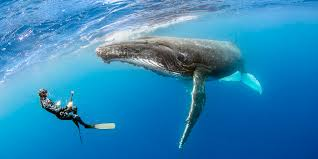 snorkeling with humpback whales in tonga u2022 scuba diver life