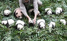best photos of the day 36 giant pandas make their public debut