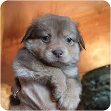 australian shepherd weiner dog mix aussie mix pups adopted puppy sacramento ca australian