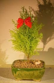 the 25 best buy bonsai tree ideas on japanese maple