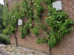 download wall climbing vines michigan home design