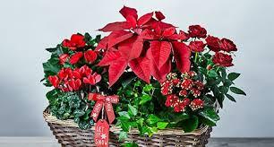 christmas plants christmas flowers plants waitrose florist