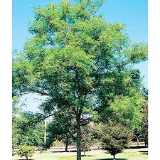 shop 12 7 gallon imperial thornless honeylocust shade tree l10523