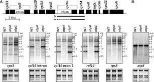 a rapid ribosome profiling method elucidates chloroplast ribosome