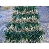 amazon com dwarf mondo grass qty 40 live plants shade loving