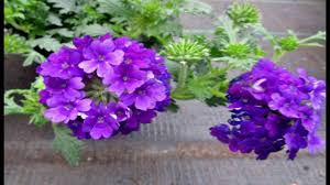 verbena flower verbena flower