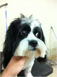 shichon haircuts pictures