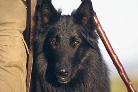 belgian sheepdog crossword prince william raf base puts down two military dogs blade and brus