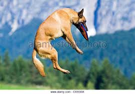 australian shepherd frisbee dog catching frisbee air stock photos u0026 dog catching frisbee air