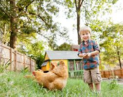 top 10 questions and answers about backyard chickens countryside
