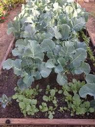 Urban Gardens Phoenix - growing veggies in arizona gardening in phoenix pinterest