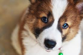 What Causes Dogs To Go Blind In Dogs Symptoms Causes Diagnosis Treatment Recovery
