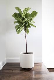fiddle leaf fig care how to grow fiddle leaf fig tree