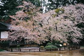 cherry blossom tree northern japan u0027s 2 500 tree cherry blossom wonderland not a