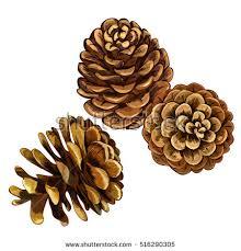 pine cone vector illustration set coniferous stock vector