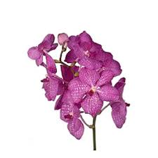 vanda orchids orchids pink magic