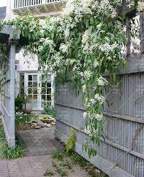 Fragrant Climbing Plant - aliexpress com buy climbing jasmine flower seeds rare clinmbing
