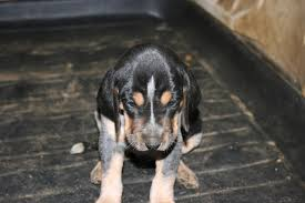 bluetick coonhound puppies for sale big game bluetick pups for sale biggamehoundsmen com