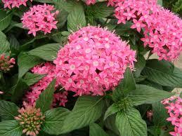 pentas flower butterfly pink pentas