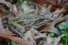 new frog discovered inhabiting i 95 corridor from connecticut to