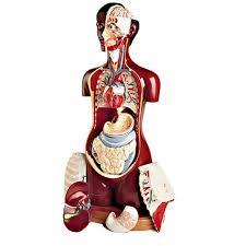 Human Anatomy Torso Diagram The Complexity Of Human Anatomy Organs Humandiagram Info