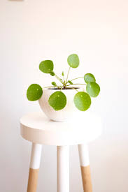 mission plant journal portrait 4 pilea peperomioides aka chinese