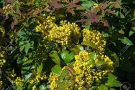 Yellow Flowering Bushes And Shrubs Flowers Barberry A Thorny Shrub That Bears Yellow Flowers And