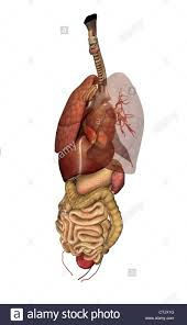 Liver Human Anatomy Human Anatomy Organs Lung Heart Liver Digestion Stock Photo