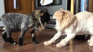 a failed experiment in cat shaving youtube