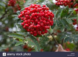 cluster of berries on mountain ash tree mid wales stock photo