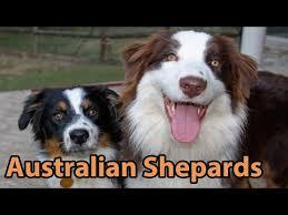 australian shepherd yahoo answers australian shepherd gender aggression affection protection