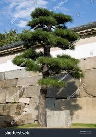 ornamental japanese bonsai pine tree front stock photo 7344346
