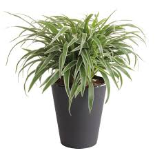 waterwick 6 in spider plant in self watering pot chl6wwhd the