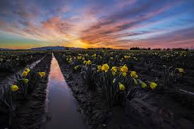 Skagit Valley Tulip Festival Bloom Map Skagit Valley Daffodil Festival North Western Images Photos By