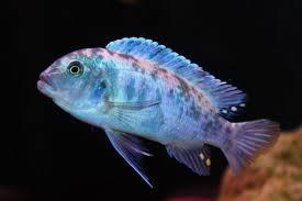 fish profile cobalt blue ob zebra african cichlid