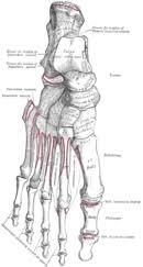 Calcaneus Anatomy Calcaneus Wikipedia