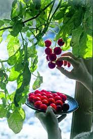 light requirements for growing tomatoes indoors how to grow indoor tomatoes