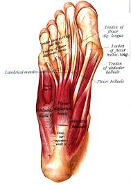 Sole Of The Foot Anatomy Abductor Hallucis Muscle Wikipedia