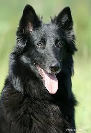 4 types of belgian sheepdogs index of dog breeds belgian shepherd dog images full
