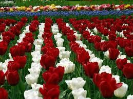 ltulip garden flower hd wallpapers cool hd free wallpapers hd